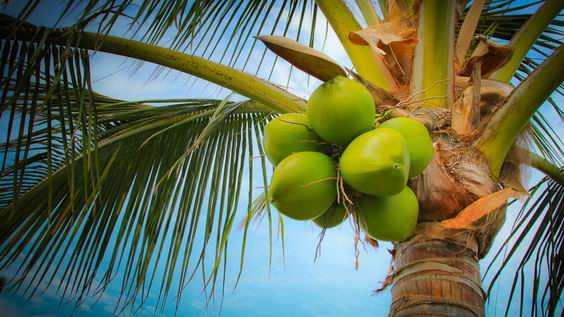 coconut growing countries