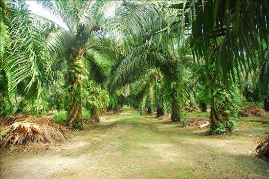 oil palm fronds