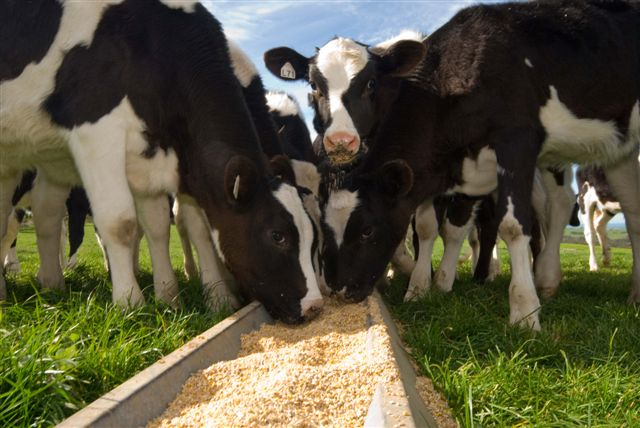 How to Make Dairy Cow Feed Pellets/Feed Pellet Formula
